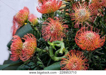 Original Bouquet Of Flowers Leucospermum Cordifolium, Also Known As Pincushion Protea (growing In So