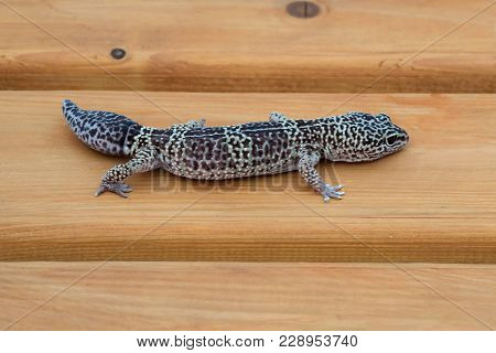 Leopard Geckos (eublepharis Macularius) On Wooden Bench. Distributed In North-west Of India, In Paki