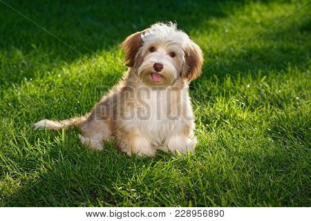 Happy Chocolate Colored Havanese Puppy Dog Sitting In The Grass And Looking At Camera