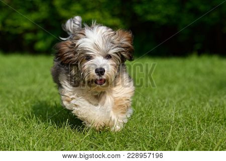 Playful Havanese Puppy Dog Is Running Towards Camera In The Grass