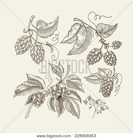 Abstract Floral Sketch Light Template With Organic Herbal Hop Plants Used For Beer Brewing Vector Il