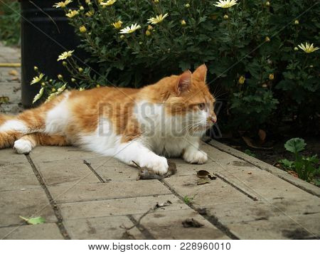 red cat who caught the mouse outdoors poster