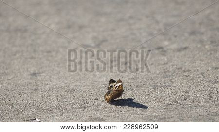 Single buckeye butterfly and its shadow on cement