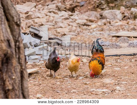 Large Cochin Rooster With Bright Red Wattle And Blueish Black Tail Feathers In Rural Farmyard With T