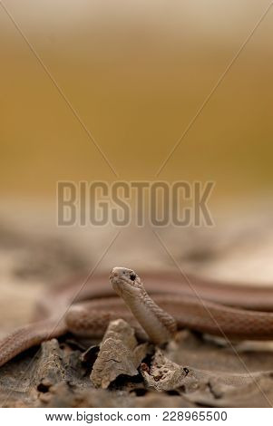 A Small Brown Snake With A Light Brown Smooth Background.