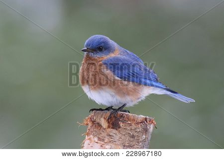 A Male Eastern Bluebird Sialia Sailis Perching On A Branch In Winter