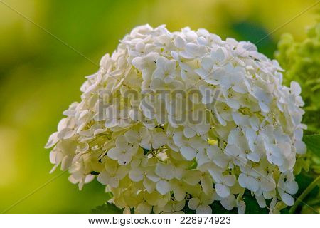 Closeup Of White Hydrangea Flowers In Afternoon Sunlight In Minnesota
