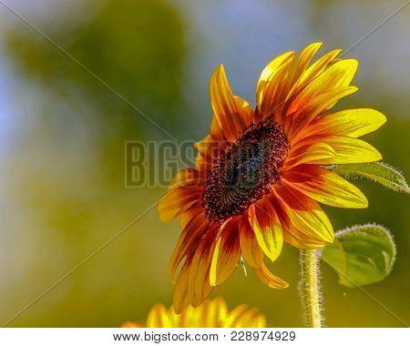 Closeup Of A Brilliant Yellow Sunflower Facing Upward Left Toward The Sunlight In A Garden Near Lake