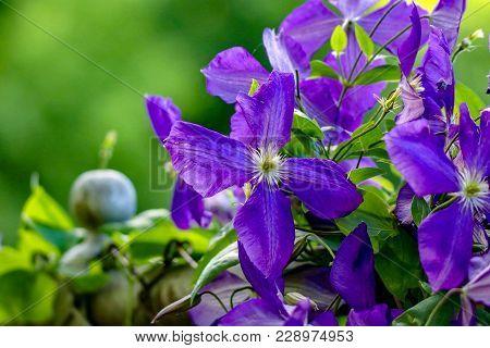 Brilliant Violet Clematis On A Green Vine