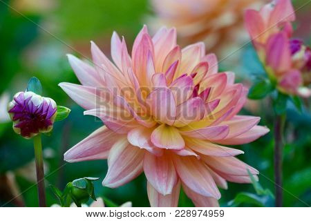 Orange Kleene Dahlia In A Garden At Sunset