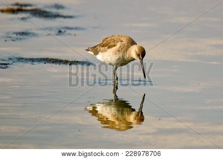 Willet Sees Reflection In Water In A Lake