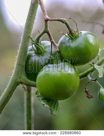 Closeup Of Three Beautifully Grown Healthy Green Tomatoes On A Vine In The Afternoon Sunlight In A G