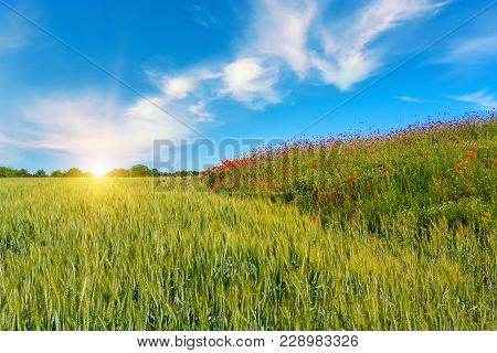 Wheat Field With Blue Sky With Sun And Clouds. Agricultural Landscape.