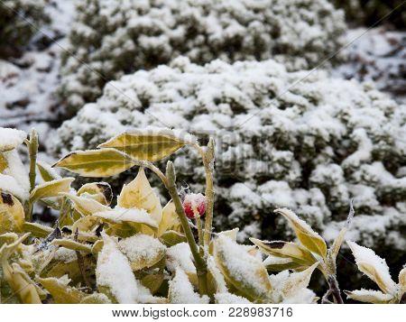 Wintery Scene Of A Light Dusting Of Snow On Garden Vegetation