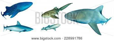 Shark species collection isolated on white background. Whale Shark, Leopard, Bull, Grey and Whitetip Reef Sharks