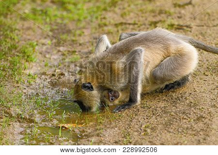 A Female Hanuman Or Grey Langur, Genus Semnopithecus Drinking Water While Its Baby Clings To Her. Ka