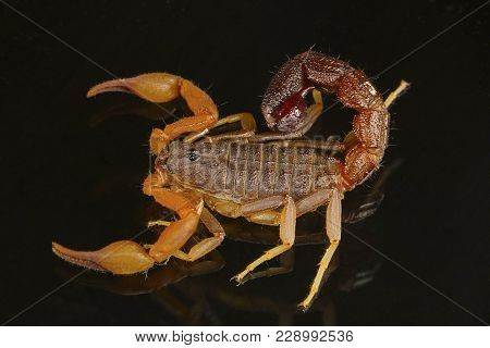 A Fat Tailed Scorpion, Hottentotta Sp. Dorsal View. Goa, India. These Scorpions Bear A Fat Tail And