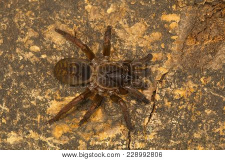 Trapdoor Spider, Genus Tigidia Of The Brush Footed Spider Family Barychelidae From Pondicherry, Tami
