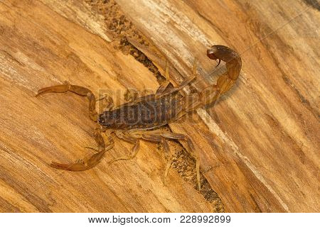 Fat Tailed Scorpion, Genus Lychas From Pondicherry, Tamilnadu, India. These Are Also Known As Bark S