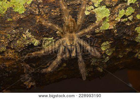 Arboreal Tarantula, Poecilotheria Tigrinawesseli, Eastern Ghats, India