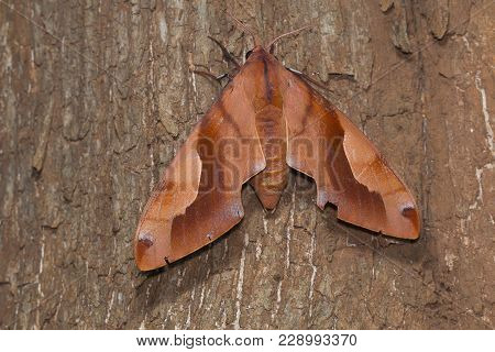 A Large Hawk Moth Found In Forests Of Kanger Ghati National Park, Bastar District, Chhattisgarh
