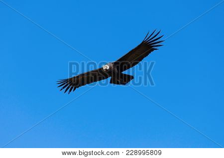 Condor Flying On The Blue Sky Background, Colca Canyon, Peru