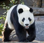 giant panda walking and looking into camera ** Note: Slight blurriness, best at smaller sizes poster