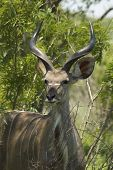 Portrait of a young male Kudu antelope (Tragelaphus strepsiceros) South Africa poster