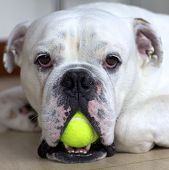 White English Bulldog with Tennis Ball in his mouth poster