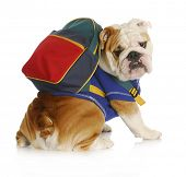 dog obedience school - english bulldog wearing blue shirt and matching back pack looking at viewer poster