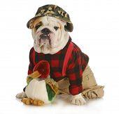 hunting dog - english bulldog dressed up like a hunter on white background poster