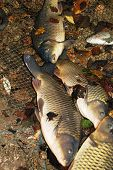 picture of carps from lake prespa in macedonia poster