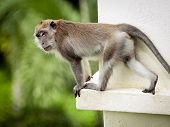 Monkey (Long-Tailed Macaque) in the wild having fun poster