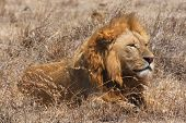 Young Male Lion sitting in Ngorongoro Crater poster