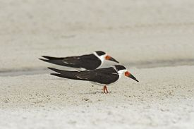 Black Skimmers Standing On A Sandy Beach In Florida.