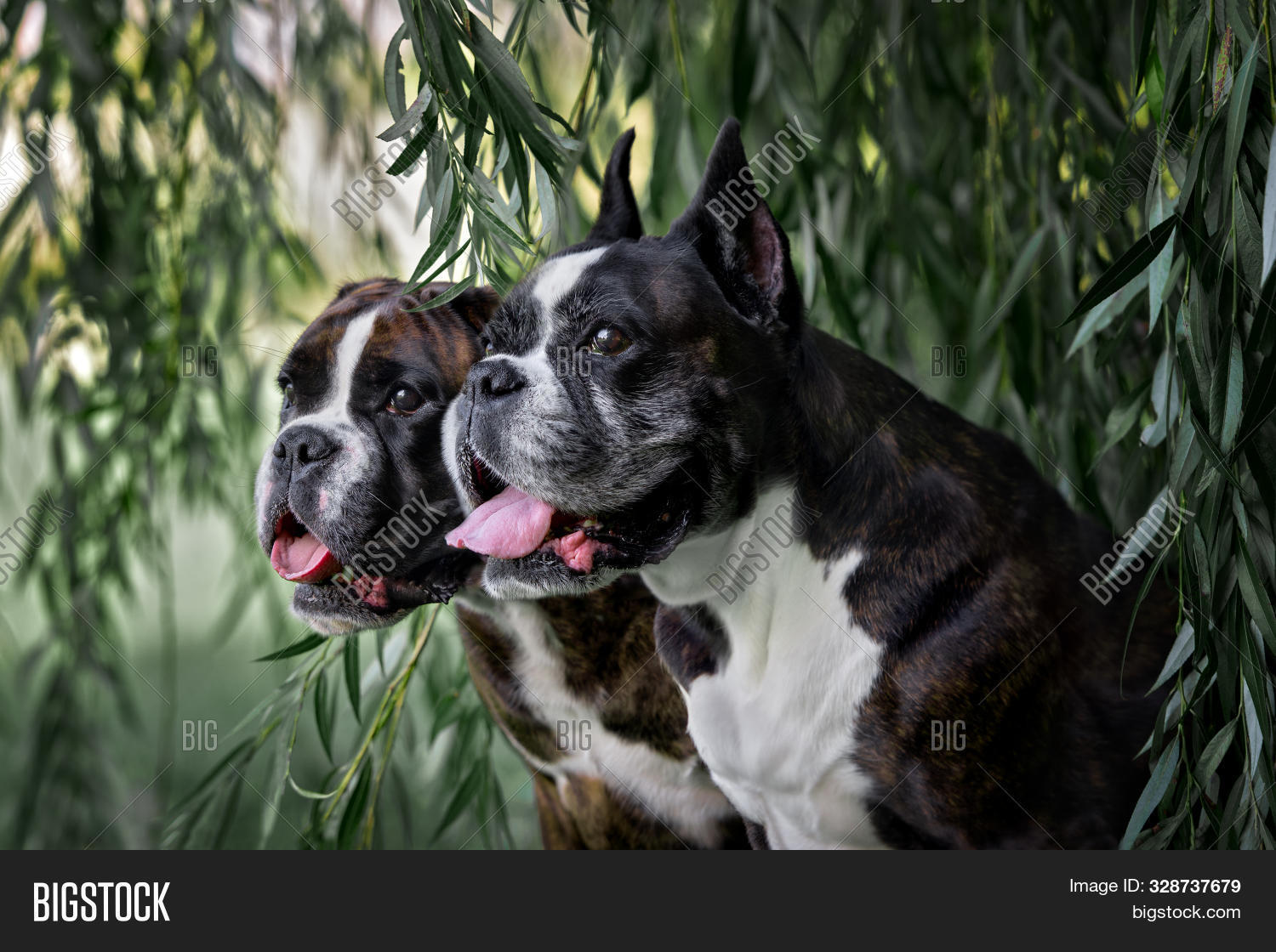 Two German Boxer Dogs Image Photo Free Trial Bigstock