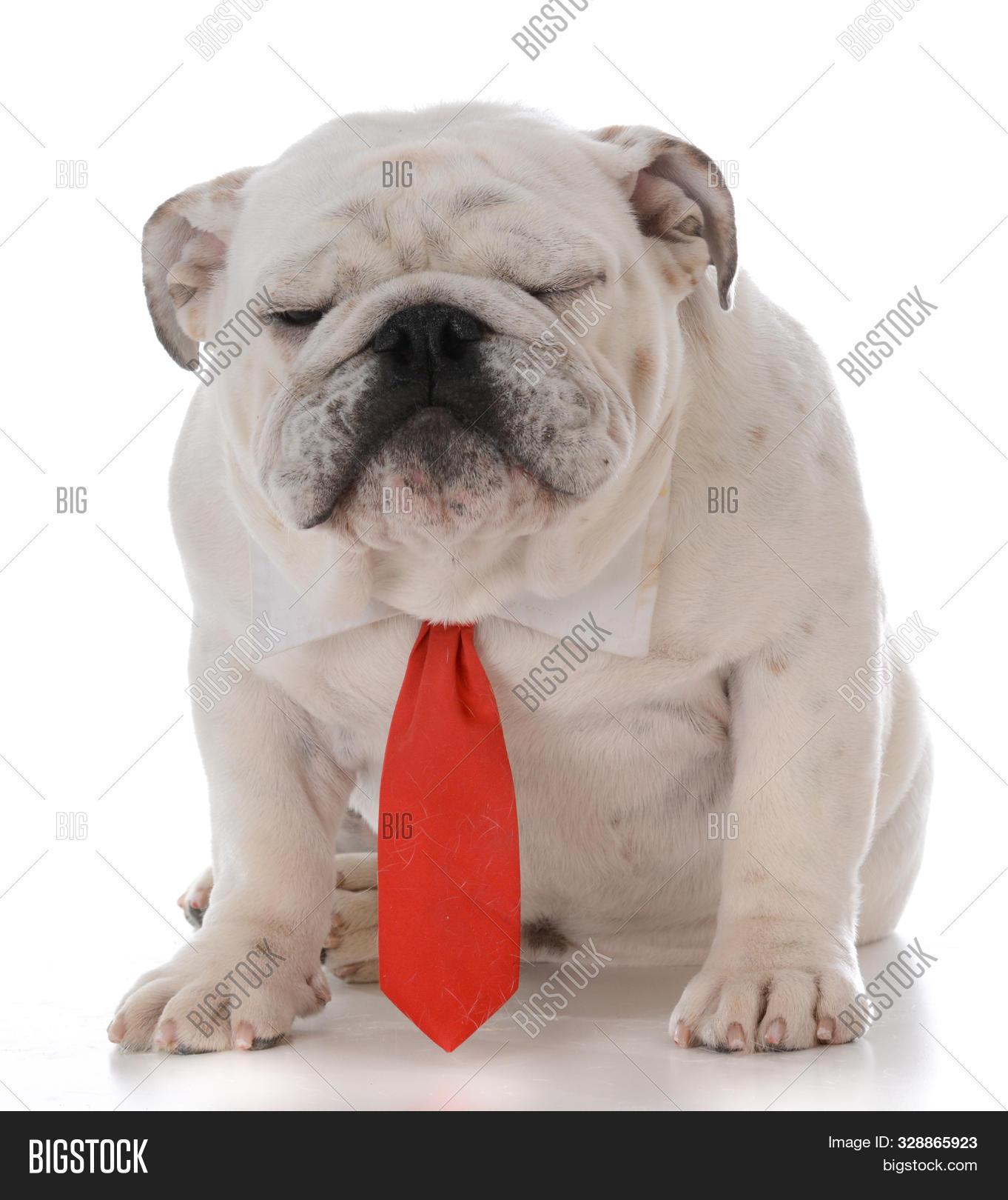 Male English Bulldog Image Photo Free Trial Bigstock