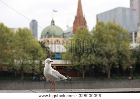 Playful Singel Seagull Posing By The River In The Cbd Inner City Melbourne With City Buildings And F