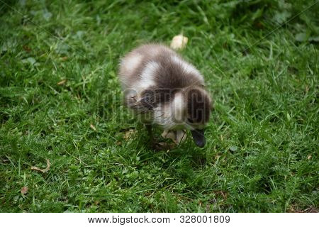Getting Up Close And Personal With A Waddling Baby Duckling.