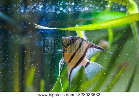 A Beautiful Zebra Angelfish In Tank Fish