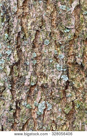 Natural Texture - Furrowed Bark On Mature Trunk Of Ash Tree (fraxinus Excelsior) Close Up