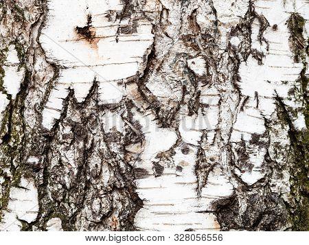 Natural Texture - Wrinkly Bark On Trunk Of Birch Tree (betula Pendula) Close Up