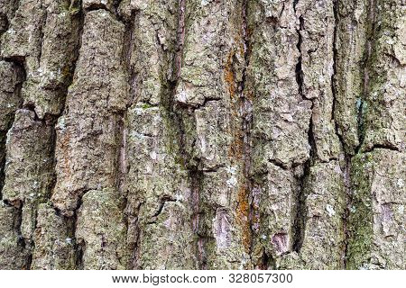 natural texture - furrowed bark on old trunk of oak tree (quercus robur) close up poster