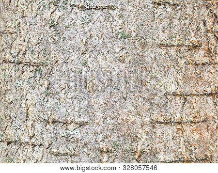 Natural Texture - Surface Of Bark On Trunk Of Rowan Tree (sorbus Aucuparia) Close Up