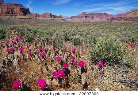 Grand Canyon Cactus Landscape