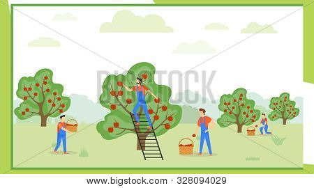 Pick Apples. A Group Of People In Uniform Are Picking Apples In An Orchard. Vector Illustration Of A