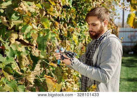 Vintner Man Examining The Grapes During The Vintage. Vine Making Process. Oidium Treatment, Selectio