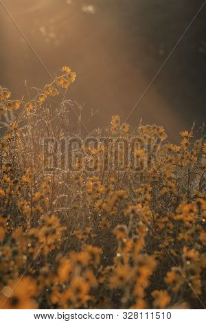 Morning Sun Shines On A Prairie Of Autumn Sunflowers In The North American Midwest. Selective Focus.