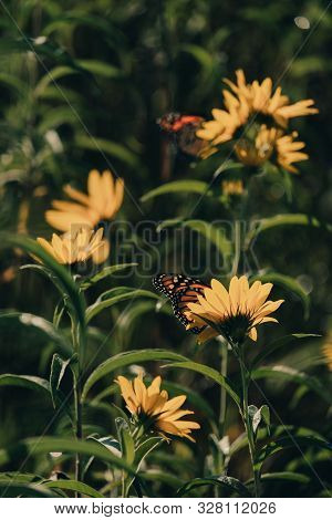 Monarch Butterfly, Danaus Plexippus, On An Autumn Sunflower With Closed Wings In A Prairie Of Wildfl