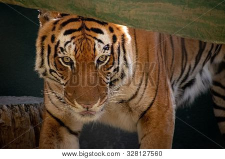 Close Up Of A Tiger Walking Under A Log